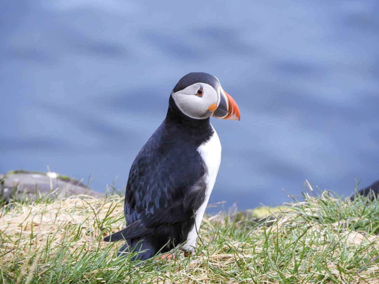 Puffins spotten IJsland - by NOMADS
