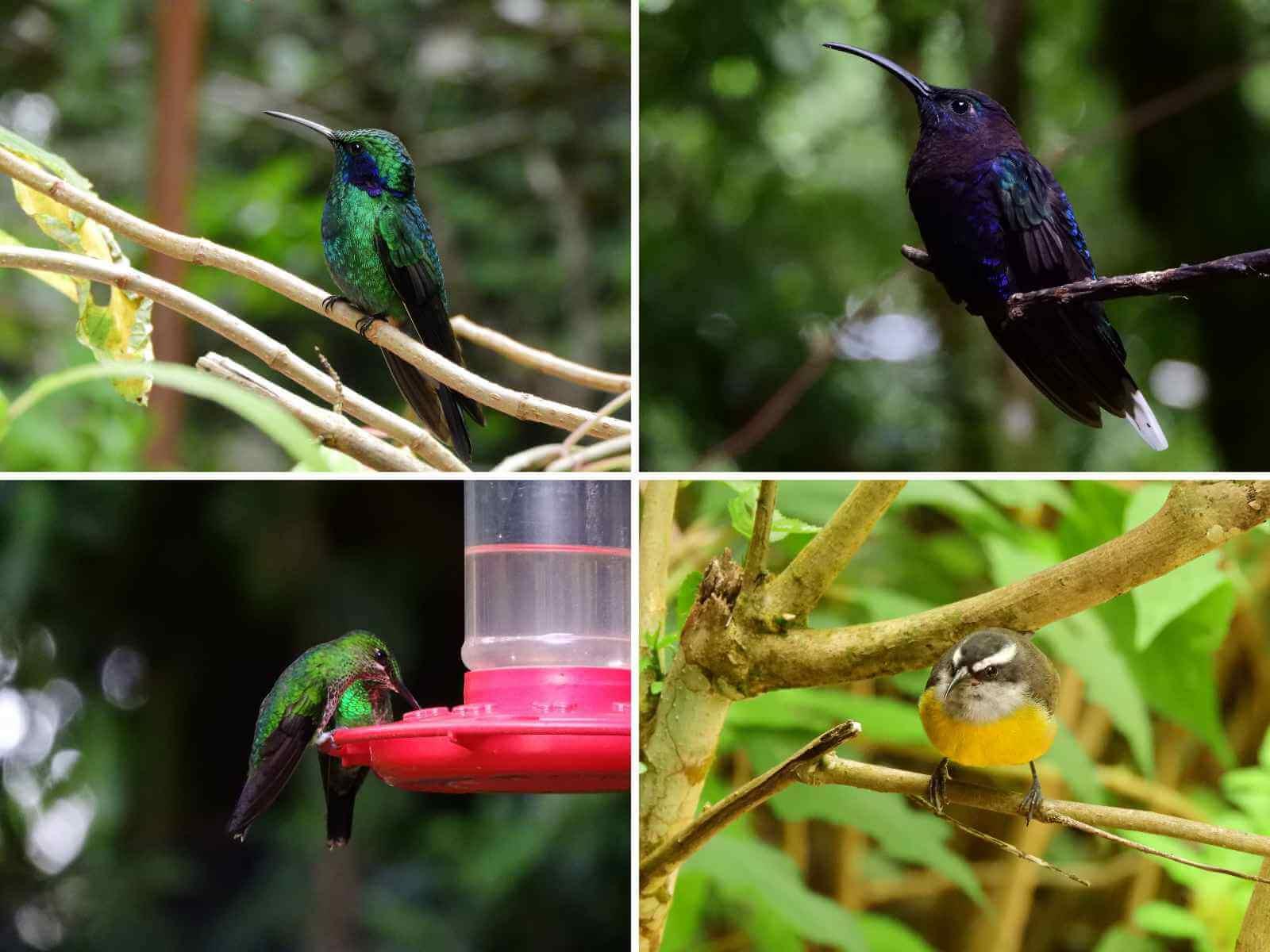 Kolibrie tuin - Monteverde