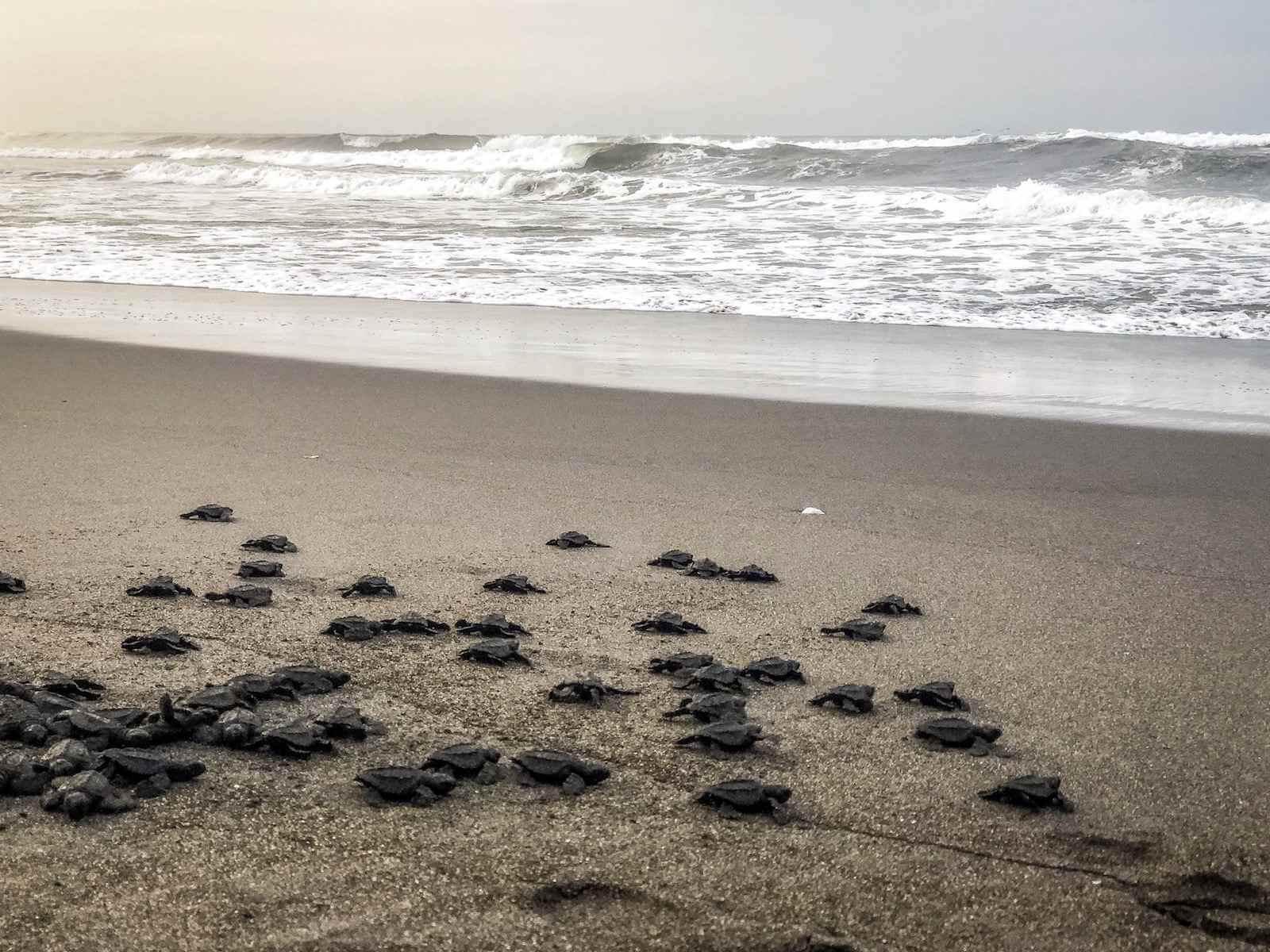 El Paredon - Zeeschildpadden