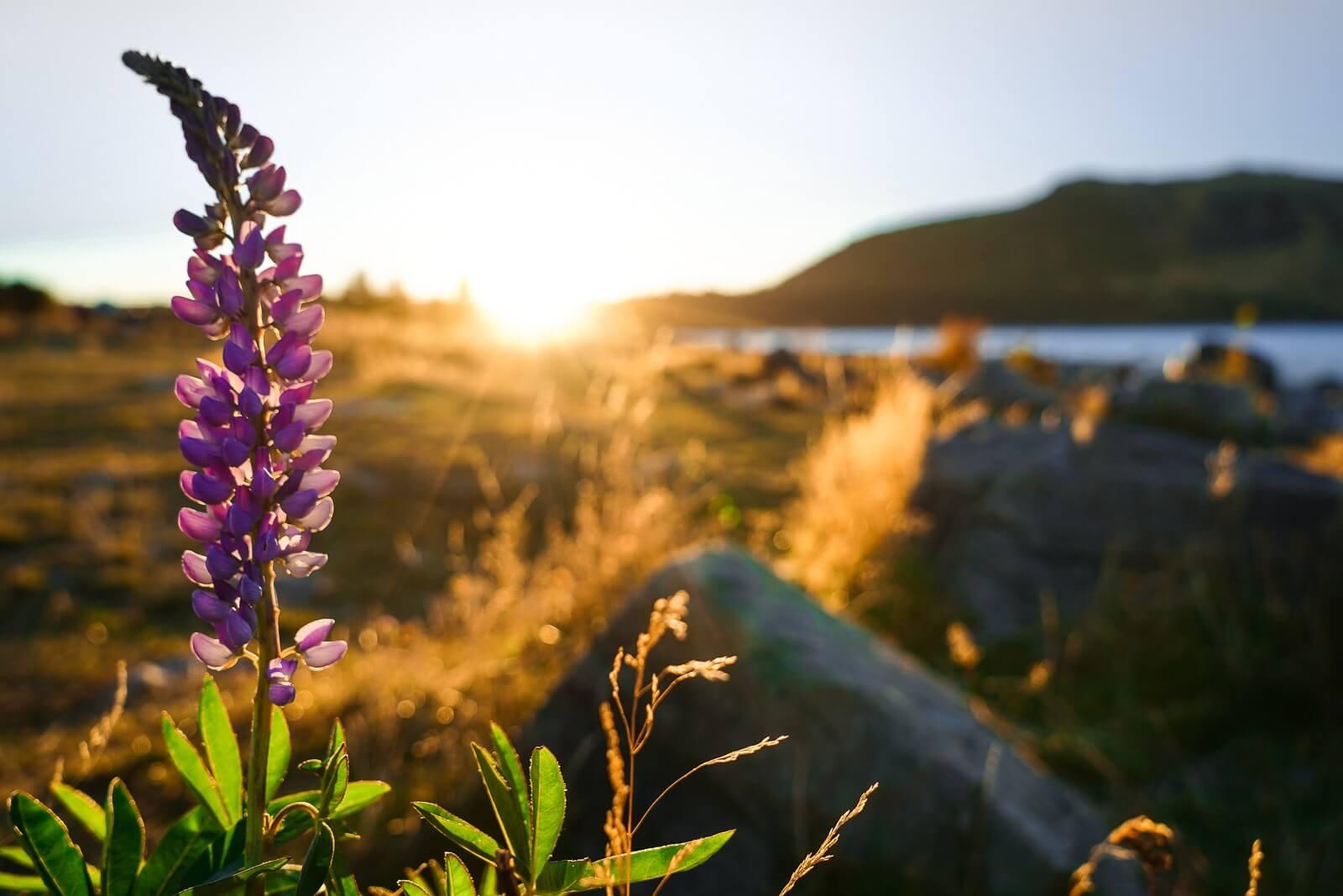Lake Tekapo - Heldere sterrenhemel & tussen nov-feb kun bloeit de lupin hier